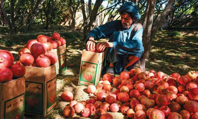 Pomegranate pickers in Afghanistan are out of work as the fruits perish along the Pakistan-Afghanistan border